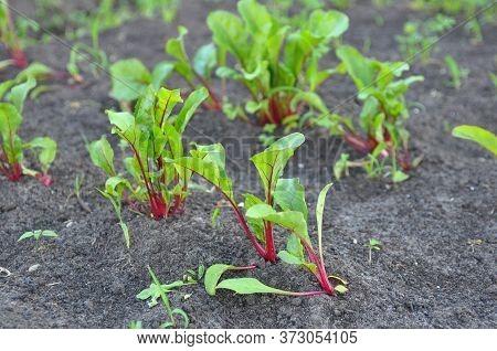Leaf Of Beet Root. Fresh Green Leaves Of Beetroot Or Beet Root Seedling. Row Of Green Young Beet Lea