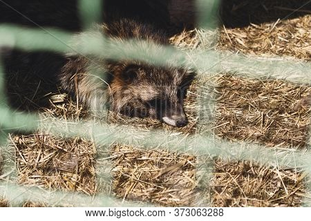 Sad Raccoon In Cage At The Zoo. Captive Animals