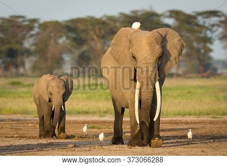 Adult Female Elephant With Big Tusks And An Egret On Her Head Being Followed By A Baby Elephant In A