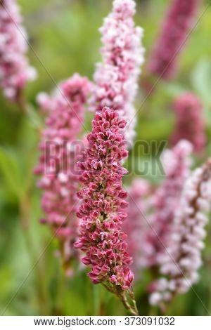 Fleece Flower - Latin Name - Persicaria Affinis (bistorta Affinis)