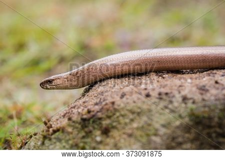 Clsoeup Of Anguis Fragilis Or Slow Worm On A Rock In The Sun