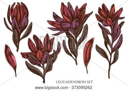 Vector Set Of Hand Drawn Colored Leucadendron Stock Illustration