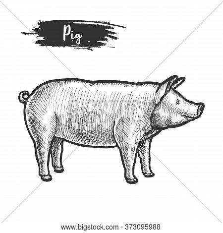 Vintage Sketch Of Pig Or Pork Animal.piggy, Piglet
