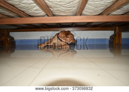 Cute Puppy Lying Inside The Cot, Young Golden Retriever Dog Under The Cot.