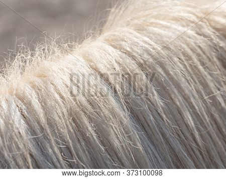 White Horse Hair. Detailed Mane Fiber,  Skin Of A Beige Horse With A Mane Close Up.