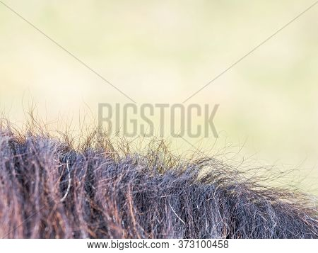 Detail Of Bshort Rown Horse Mane In Sharp Sun. Green Grass In Blurry Background