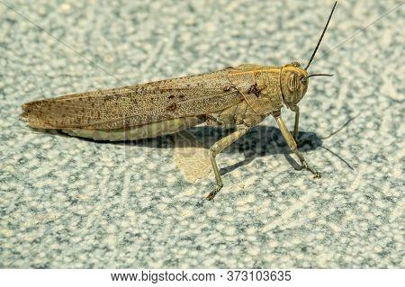 The Huge Spanish Grasshopper Closeup Gray Background1