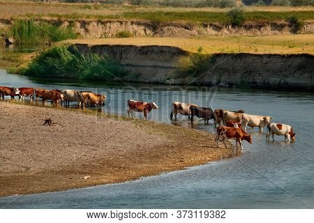 Kazakhstan. A Herd Of Cows Came To The Chu River To Drink In The Middle Of A Summer Day.