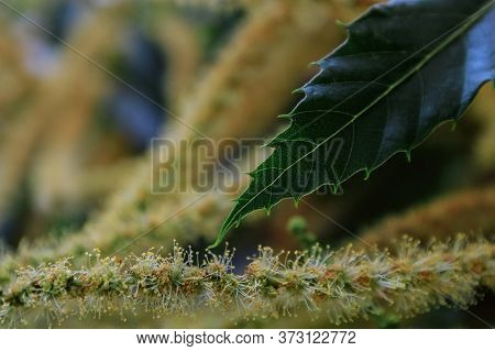 Sweet Chestnut Tree In Blossom (castanea Sativa). Classic Soft Image. Close-up.