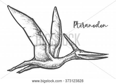 Pteranodon Dinosaur Sketch Vector Illustration Or Tatoo