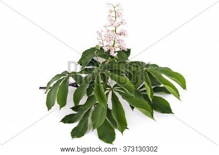Flowering Branch Of Horse-chestnut Tree (aesculus Hippocastanum) Isolated On White Background. Conke
