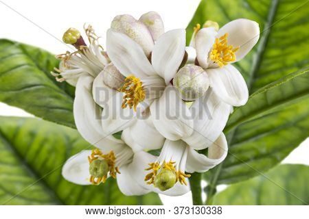 Cluster Of Lemon Tree Blossoms, Citrus Flowers With Leaves Isolated On White Background