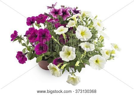 Colorful Blooming Petunia Flowers In Flower Pot, Closeup, Isolated On White Background. Petunia Hybr