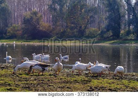 A Flock Of Wild Ducks At Special Nature Reserve Koviljsko Petrovaradinski Rit (kovilj - Petrovaradin