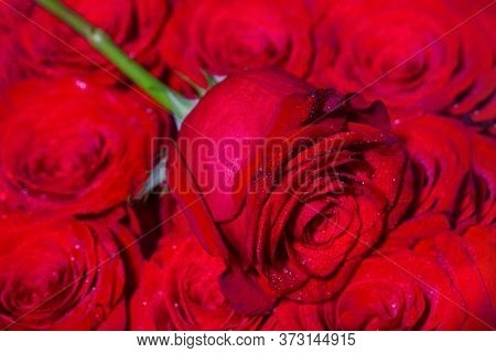 A Close Up Macro Shot. Red Rose Flower. Close Up Of Red Roses And Water Drops. Roses In Flower Shop.