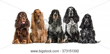 Group of English Cocker Spaniel in a row, isolated on white