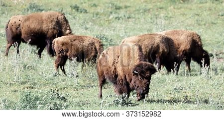 Herd Of American Bisons (buffalo)  Grazing. Bison Paddock, Golden Gate Park, San Francisco, Californ