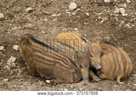 Red Small Wild Boar Pig Lies On The Ground