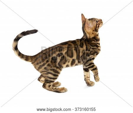 Cute 5 Month Old Bengal Kitten With Large Rosettes Isolated On White Background. Black Spotted Tabby