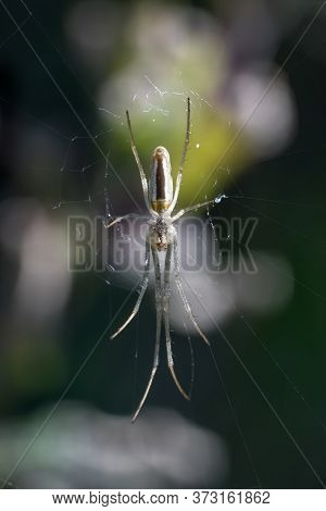 Spider (tetragnatha Extensa) Moving In Stealth On It's Silk Web Commonly Known As Common Stretch Spi