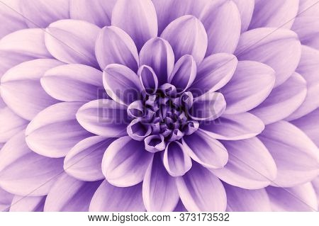 Defocused Purple, Lavender Dahlia Petals Macro, Floral Abstract Background. Close Up Of Flower Dahli