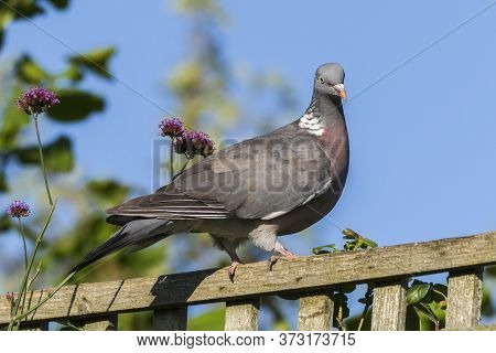 Common Wood Pigeon (columba Palumbus) A Bird Species Of The Dove Family Found In The Uk And Europe