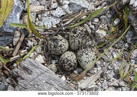 Killdeer Nest And Eggs At Richmond Bc Canada