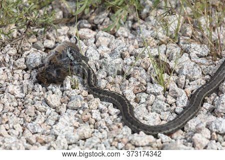 Western Terrestrial Garter Snake Eat Vole At Richmond British Columbia Canada