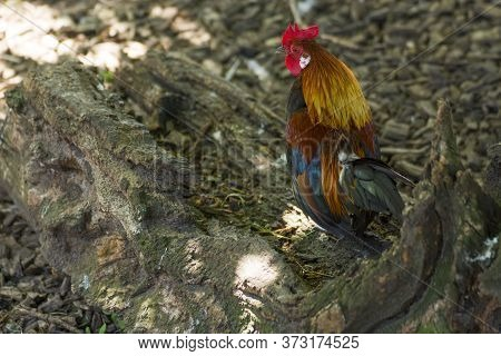 Rooster In A Park With Several Colours, Selective Focus And Sunlight.