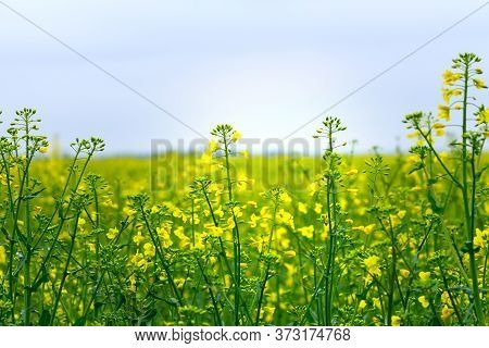 Rapeseed Field, Blooming Canola Flowers Close Up. Rape On The Field In Summer.