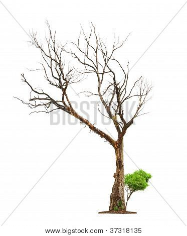 Old Tree On White Background.concept Death And Life Revival.