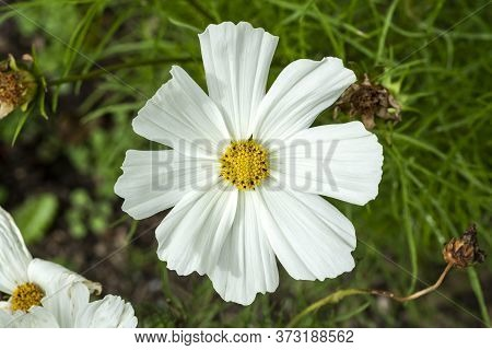 Cosmos Bipinnatus 'sonata White' A Summer Flowering Plant Native To  America Commonly Known As Garde