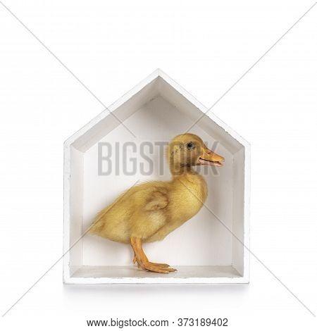 Ten Day Old Peking Duck Chick, Standing Side Ways In White Wooden House Shaped Box. Beak Slightly Op