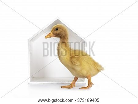 Ten Day Old Peking Duck Chick, Walking Side Ways In Front Of White Wooden House Shaped Box. Isolated