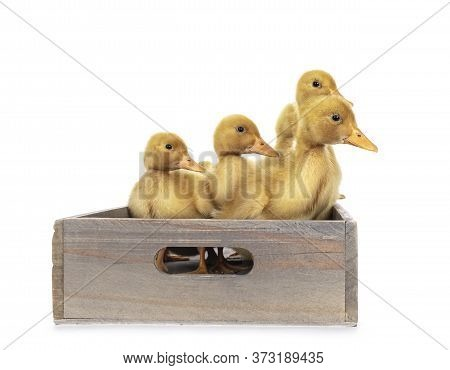 Group Of Ten Day Old Peking Duck Chicks, Standing In Wooden Box. Looking Side Ways. Isolated On Whit