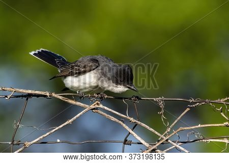 Eastern Kingbird  Is A Large Tyrant Flycatcher Native To North America.