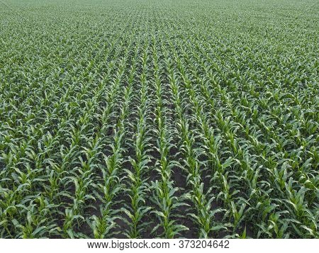 Rows Of Corn Crops, Background Of A Green Corn Field.