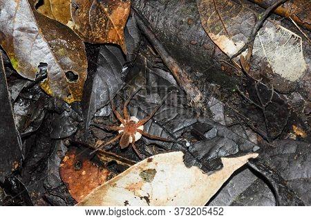 Tropical Golden Huntsman Spiders Genus Olios With Eggs