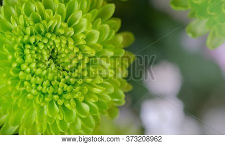 Close Up Of Beautiful Green Chrysanthemums , Mums Or Chrysanths Flower In Bouquet. Fresh Floral Back