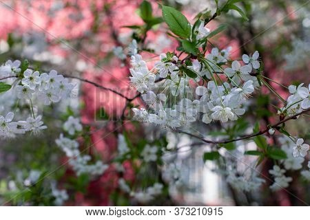 Spring Flowering Orchard, Blossom Garden Cherry Tree. Idyllic Natural Backdrop Wallpaper. Many White
