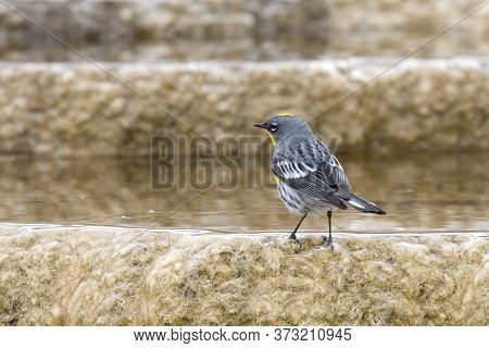 A Yellow Rumped Warbler Is Perched On A Mineral Deposit At Mammoth Hot Springs In Yellowstone Nation