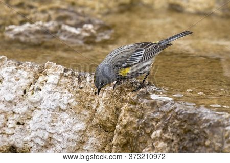 Yellow Rumped Warbler Leaning Over A Mineral Deposit At Mammoth Hot Springs In Yellowstone National
