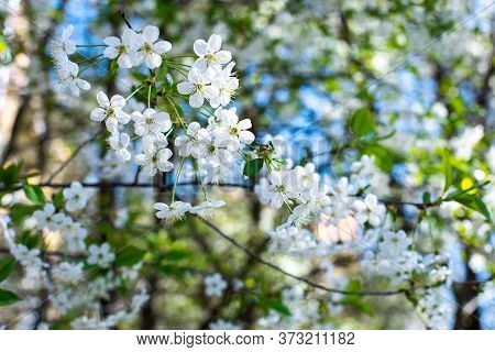 Spring Flowering Orchard, Blossom Cherry Tree. Beautiful Natural Backdrop Wallpaper. Many White Saku