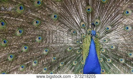 Male Peacock With Open Feathers Pavo Cristatus