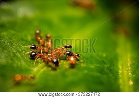 Group Of Small Red Ants / Fire Ants Eating On The Leafs With Selective Focus. Macro Close Up A Lot O