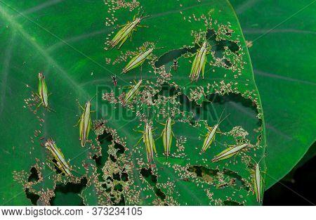 Grasshopper Spare Eggs On Green Leaf With Larva Grasshopper