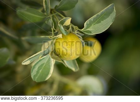 Close-up Of Small Oranges Tree With Spotted Leaves.the Fruit Eatable With High Vitamin C.