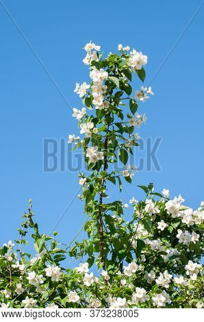 A White Flowering Twig Of Philadelphus Coronarius Or Sweet Mock Orange