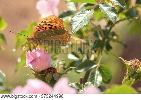 Closeup Monarch Butterflies On Pink Flowers, Close Up