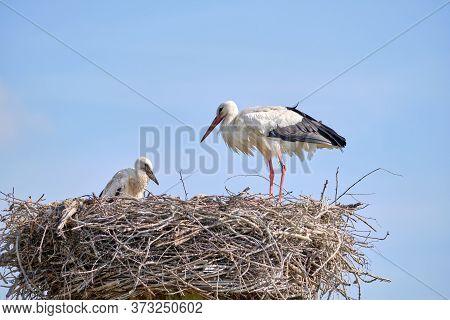 Stork Nest On Blue Sky Background. Stork With Baby In Stork Nest. Copy-space